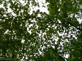25.05.2011_Leaves-above.jpg