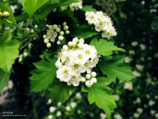 27.05.2011_In-Bloom.jpg