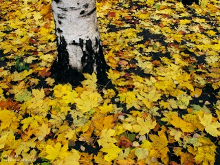 13.10.2011_Maple-leaves-and-a-birch-tree.jpg