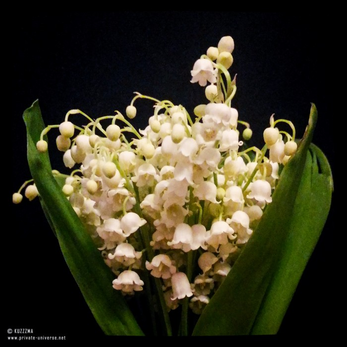 14.05.2016_Lily-of-the-valley.jpg