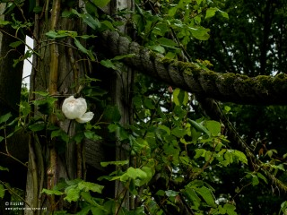 29.05.2013_13.32_Regents-Park--White-rose