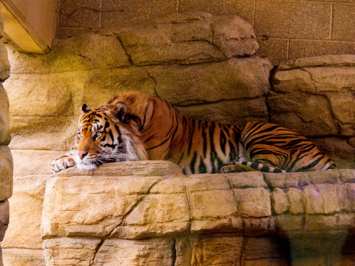 29.05.2013_15.01_London-Zoo--Tiger-lounging.jpg