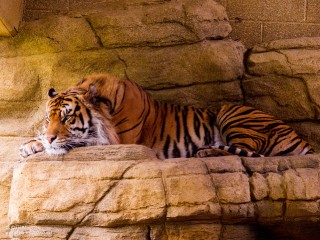 29.05.2013_15.02_London-Zoo--Tiger-lounging