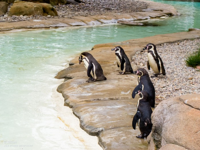 29.05.2013_15.43_London-Zoo--Penguins.jpg